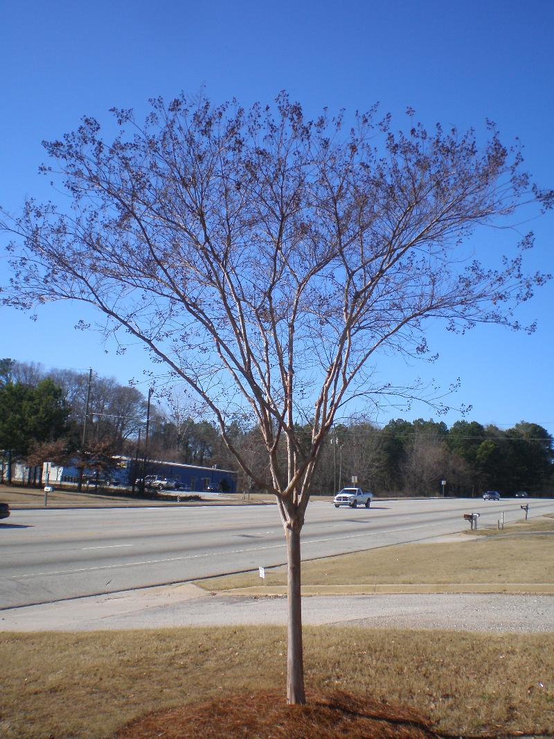 Crape Myrtle before selective pruning