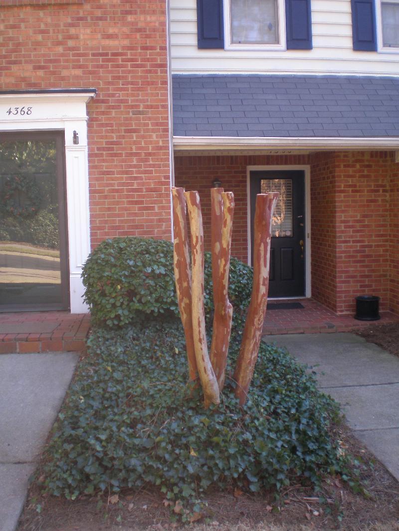 How not to prune crape myrtle