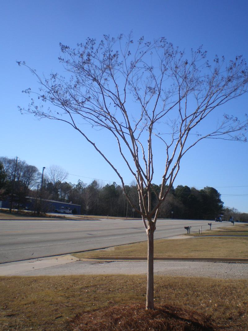 Crape Myrtle after selective pruning
