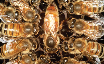 Celebrate national honeybee day with us a colony of bees consists of thousands of female worker bees several hundred male drones and one queen bee this ratio is not left to chance the colony sciox Choice Image