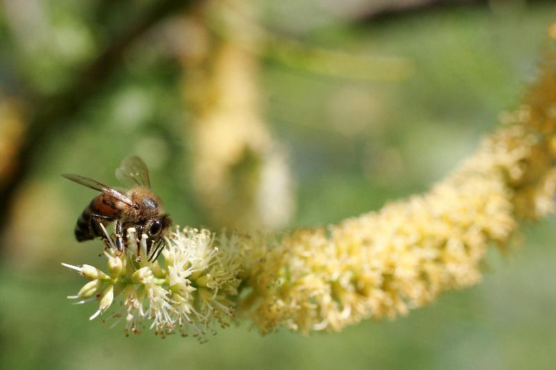 Bee on kiawe flower