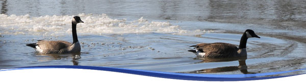 Geese in Icy St. Joseph River
