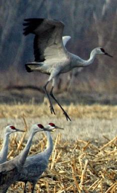 Crane Dance