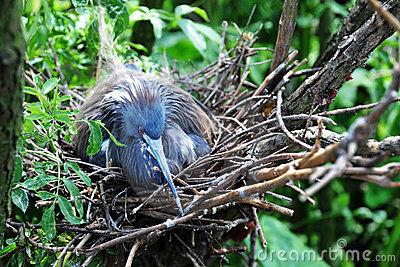 Heron on Nest