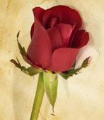 Ambassador awards rose