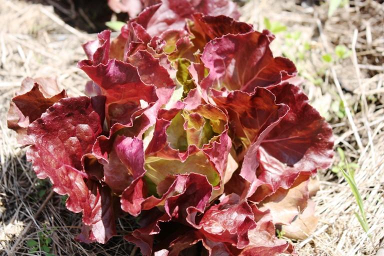 june lettuce