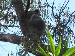 Koala spotted on one of the walks