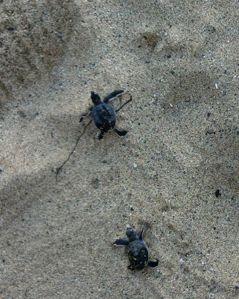 Turtles on the Buccaneer beach swimming toward the sea