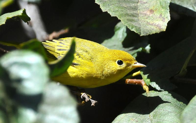 Yellow Warbler_Rauzon
