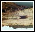 Wood Boring Bark Bettle