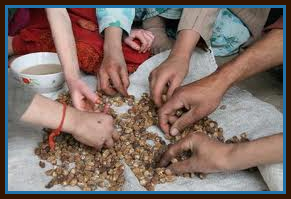 Hands sorting grains