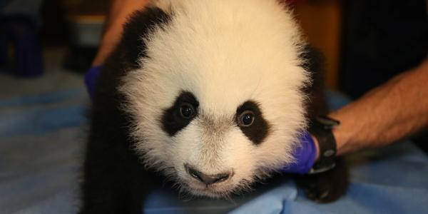 Adopt a Giant Panda_