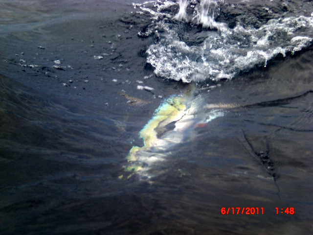 65 lb. yellowfin tuna caught on a popper near Cano Island