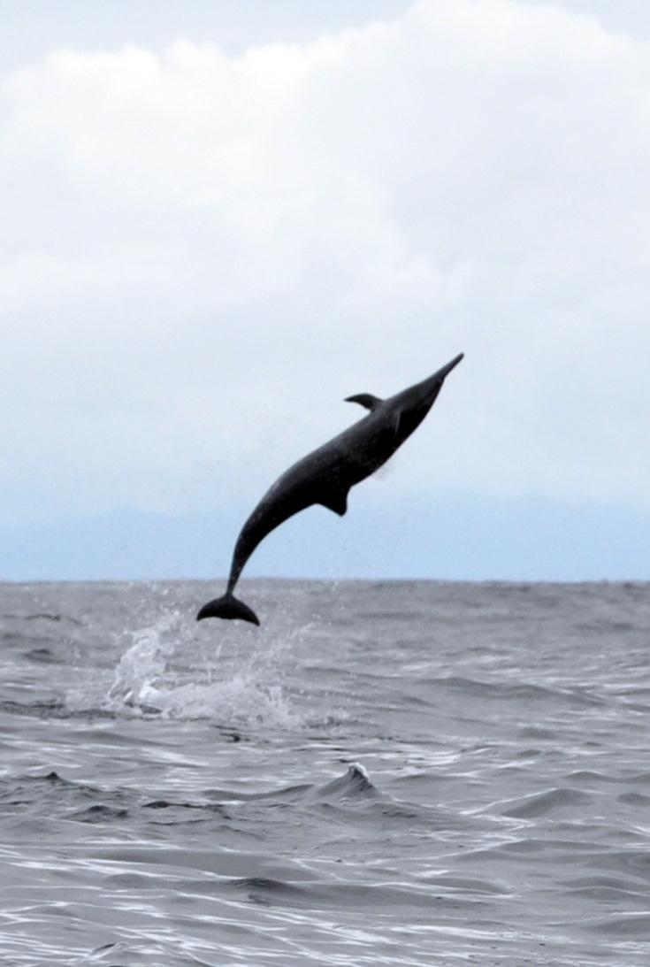 Spinner Dolphin Near Cano Island
