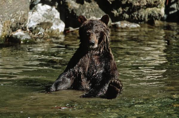 Bear Northern BC