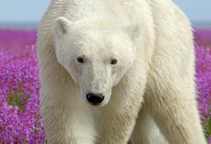 Polar Bears-Wild Flowers 2