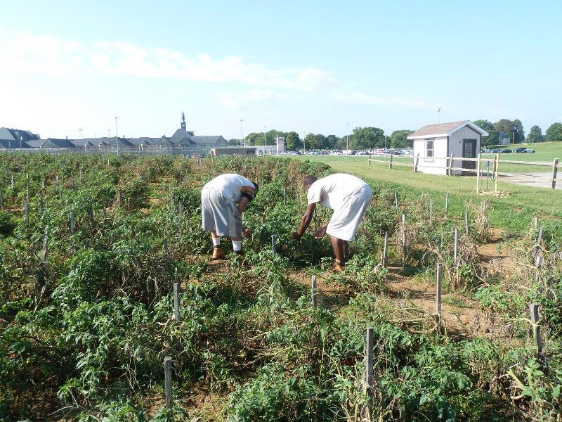 MCTC tomatoes 2012