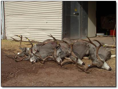 02 Mule Deer