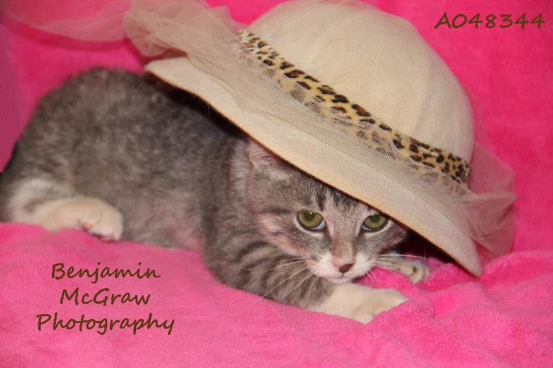 Manatee kitten for adoption