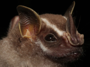 Uroderma bilobatum, a fruiteating New World bat.Sebastien Puechmaille