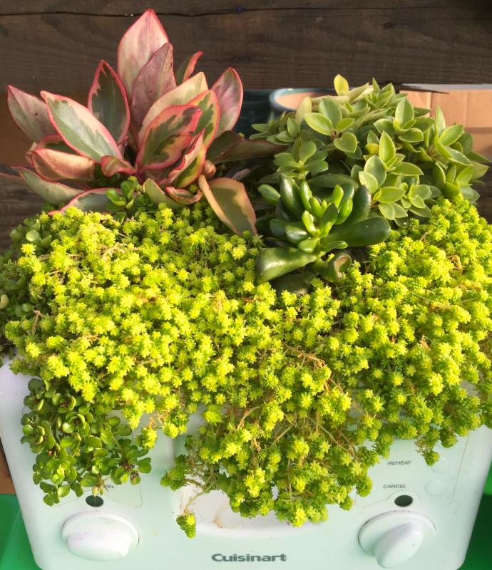 Infographics sedums succulents grown