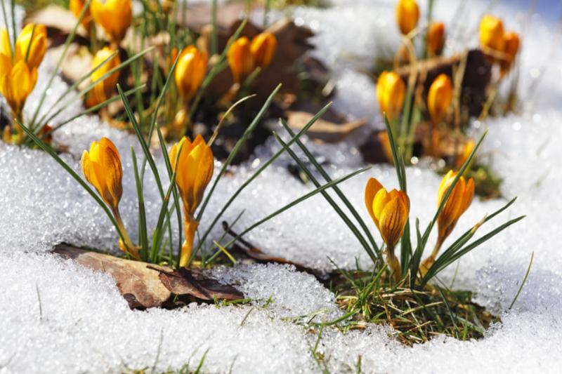 crocuses_in_spring.jpg