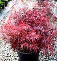 Ash's Japanese Maples