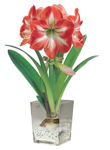 Amaryllis Minerva brightens a dreary winter day!