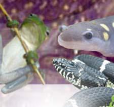 Amphibians.