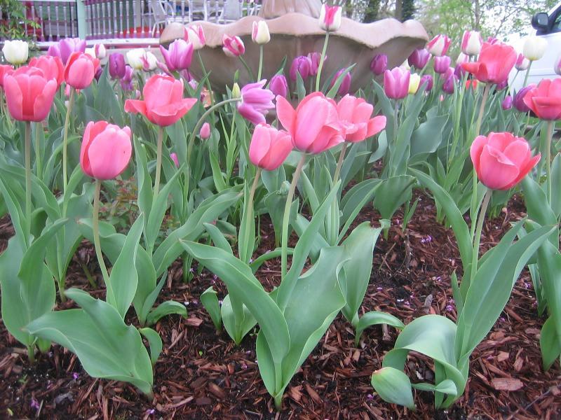 tulips sm