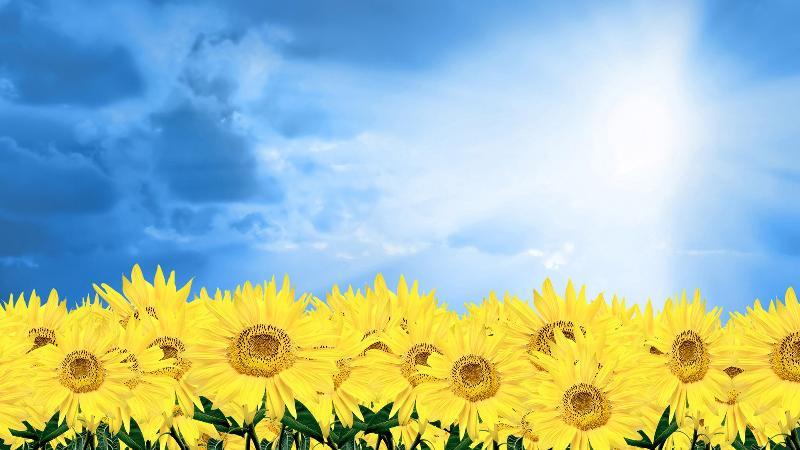 sunflower with light