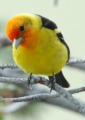 tanager babe