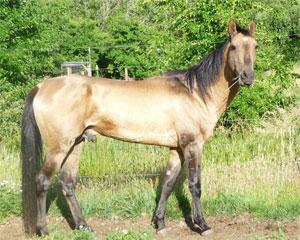 Horse-Akhalteke