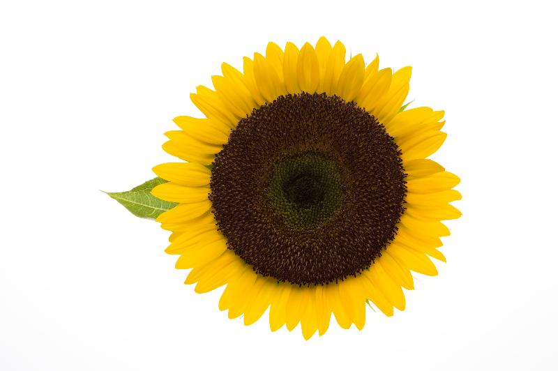 Friendly Visitors sunflower