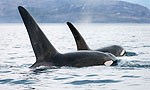 Nature, Invasion of the Killer Whales