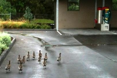 Just Us Ducks