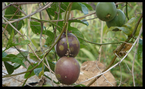 Passionfruit in Indonesia