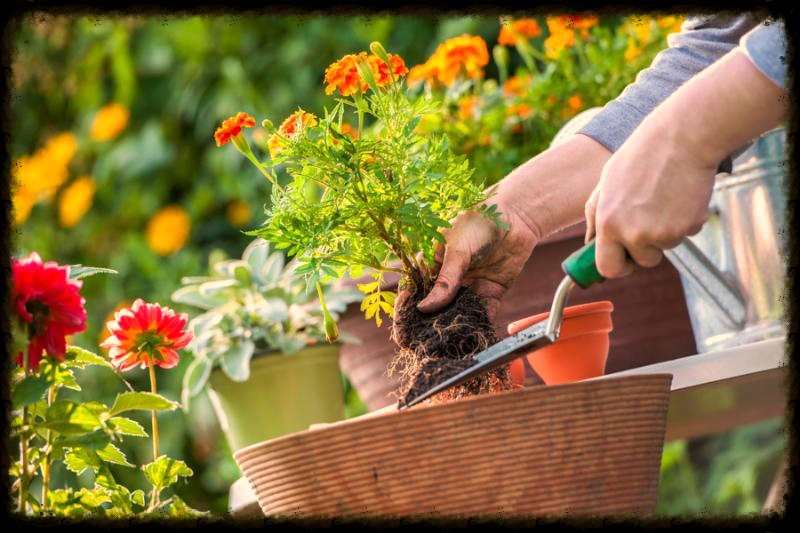 Gardeners hand planting flowers in pot with dirt or soil