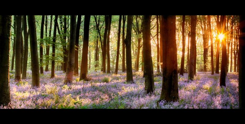 Bluebell woods in early morning sunrise with sunlight bursting through the trees