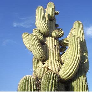 cactus 1.2