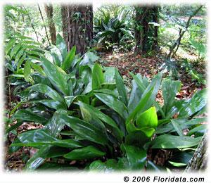 castiron plant