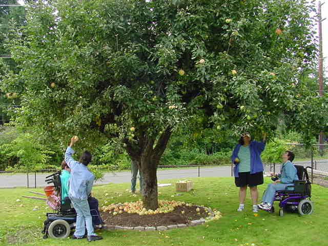 The Self- Advocacy Group gathering apples for the Food Bank