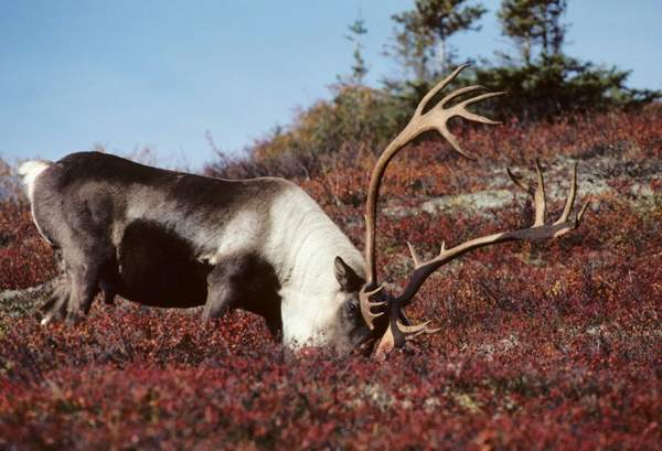 caribou feeding