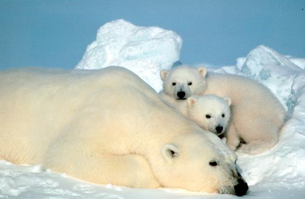 polar bear w cubs
