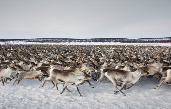 Reindeer Kautokeino Norway, Photo: Lawrence Hislop