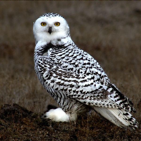 Snowy Owl Photo: Floyd Davidson