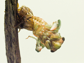 Cicada emerging from pupal case