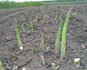 Asparagus growing in field