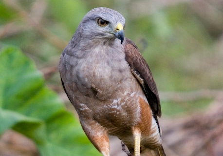 Ridgway's Hawk