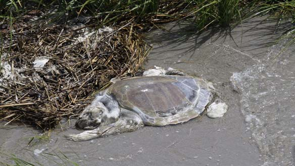Gulf Turtle